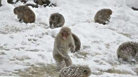 Japanese snow monkeys scavenging for food in the snow, Jigokudani, Nagano, Japan. stock footage
