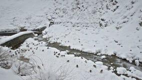 Japanese snow monkeys scavenging for food in the snow, Jigokudani, Nagano, Japan. stock video footage