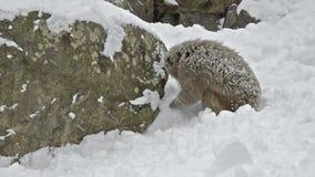 Japanese snow monkeys scavenging for food in the snow, Jigokudani, Nagano, Japan. stock video