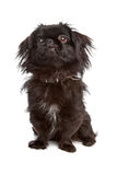 Japanese Spaniel Royalty Free Stock Images