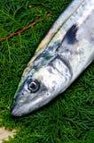 Japanese spanish mackerel Stock Image