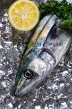 Japanese spanish mackerel Royalty Free Stock Photo