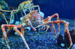 Japanese Spider Crab. A Large Japanese Spider Crab stock photography