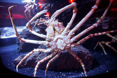 Japanese spider crab Royalty Free Stock Photography