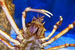 Japanese spider crab. Lives only in the pacific around japan royalty free stock photos