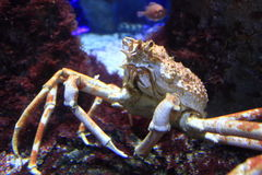 Japanese spider crab Royalty Free Stock Image