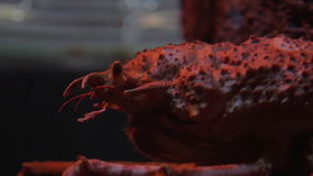 Japanese spider crab stock video