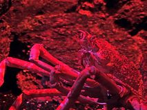 Japanese Spider Crab with Coral in Red Light on Nature. Closeup Japanese Spider Crab with Coral in Red Light on Nature Background stock photography