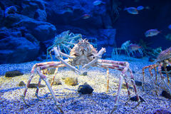 Japanese spider crab. The Japanese giant spider crab, which can grow to a span of 5.5 metres from claw to claw. This is considered to be a delicacy in Japan royalty free stock photography