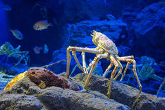 Japanese spider crab. The Japanese giant spider crab, which can grow to a span of 5.5 metres from claw to claw. This is considered to be a delicacy in Japan royalty free stock images