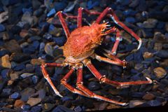 Japanese spider crab Macrocheira kaempferi. Also known as the giant spider crab royalty free stock image