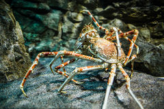 Japanese spider crab - (Macrocheira kaempferi). Giant Japanese spider crab- (Macrocheira kaempferi stock photo