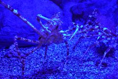 Japanese Spider Crab. In Water royalty free stock images