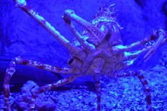 Japanese Spider Crab. In Water royalty free stock photos