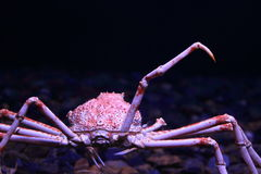 Japanese spider crab. In water stock photos