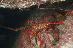 Japanese spiny lobster Royalty Free Stock Photo