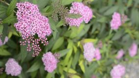 Japanese spiraea flower stock video footage