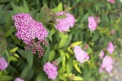 Japanese spiraea flower Royalty Free Stock Photo