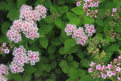 Japanese spiraea Stock Photography