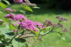 Japanese spirea Royalty Free Stock Images