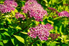 Japanese spirea in garden royalty free stock images
