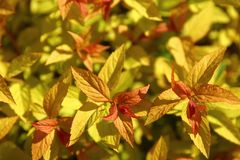 Japanese spirea is a shrub with ornamental leaves most often found in urban parks. Deciduous shrub without thorns. Leaves resemble nettle leaves. A full range stock images