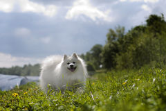 Japanese Spitz. Funny Japanese spitz walking in the meadow stock photos