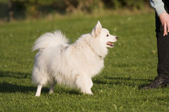 Japanese Spitz Royalty Free Stock Photo