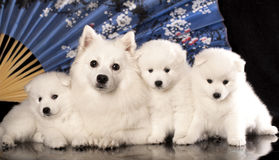 Japanese Spitz Stock Photography