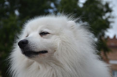 Japanese Spitz dog close-up. Japanese Spitz dog is in good mood, close-up Stock Photography