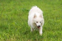 Japanese Spitz dog Stock Images
