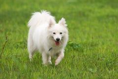 Japanese Spitz dog Royalty Free Stock Image
