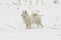 Japanese Spitz dog Royalty Free Stock Photography