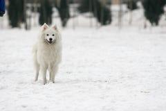Japanese Spitz dog Stock Photo