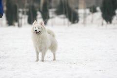 Japanese Spitz dog Royalty Free Stock Photo
