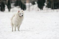 Japanese Spitz dog Royalty Free Stock Photos