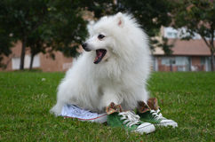 Japanese Spitz dog in sports shoes. With open mouth is sitting on the grass Stock Images