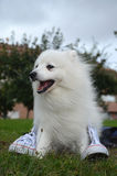 Japanese Spitz dog and white sneakers. Japanese Spitz dog with open mouth is sitting on the grass and white sneakers Royalty Free Stock Photos