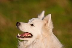 Japanese Spitz portrait Royalty Free Stock Images