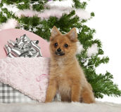 Japanese Spitz puppy, 4 months old, sitting Royalty Free Stock Images