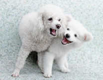 Japanese Spitz puppy and poodle dog play together Royalty Free Stock Image
