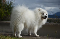 Japanese Spitz, side view. Japanese Spitz is on a stone fence, side view Royalty Free Stock Image