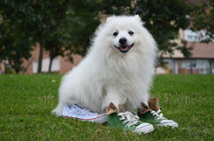 Japanese Spitz in sports shoes. Japanese Spitz dog in sports shoes sitting on the grass Stock Photography