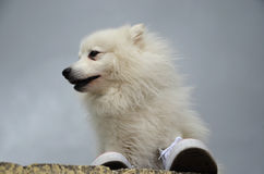 Japanese Spitz on the stone fence and sneakers. Japanese Spitz dog is sitting on a stone fence and sneakers, view from below Stock Photography