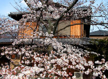 Japanese spring. A nice combination between a beautiful cherry tree in blossom and a Japanese wooden house Stock Images