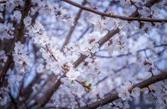 Japanese spring garden. Charming spring garden. Flowering apricot trees Stock Images