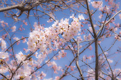"Japanese Spring represent with a cherry blossom or ""Sakura"" in the morning clear sky. Royalty Free Stock Photo"
