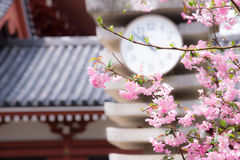 """Japanese Spring represent with a cherry blossom or """"Sakura"""" in the morning clear sky. Royalty Free Stock Image"""