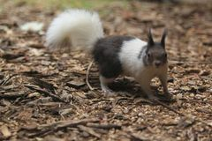 Free Japanese Squirrel Stock Images - 120935894