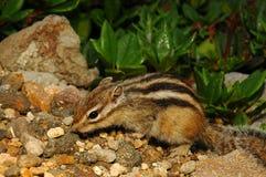 Japanese squirrel. Japanese striate squirrel Stock Photo